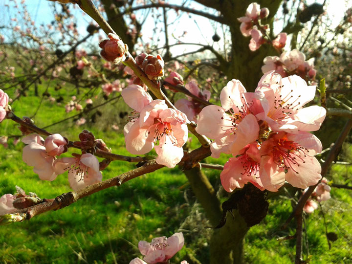 Old-orchard-spring-blossom