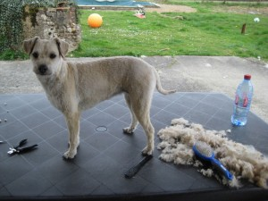 Wolfie shaved